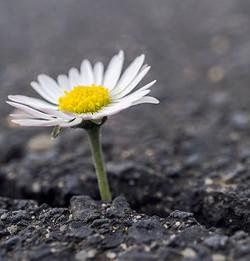 daisy, small