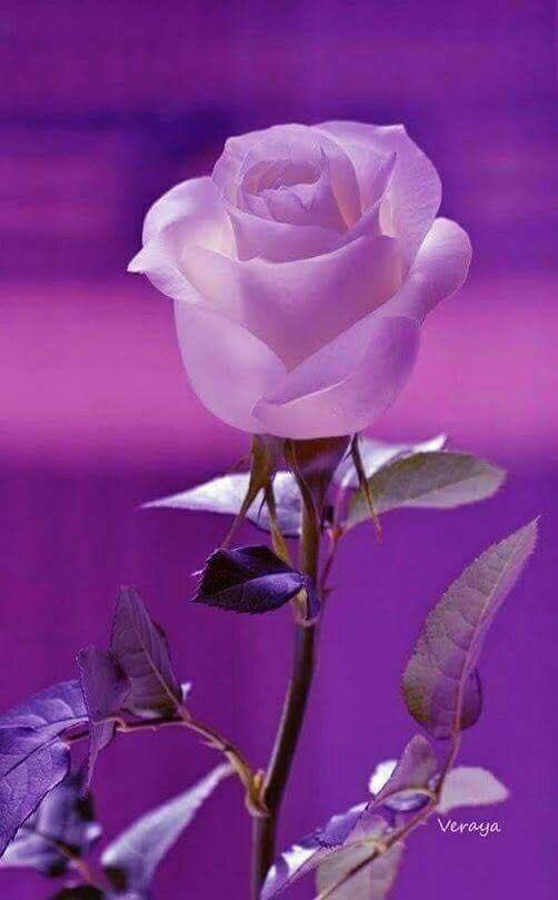 pink rose with purple background