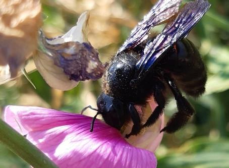 L'abeille charpentière : un pollinisateur XXL