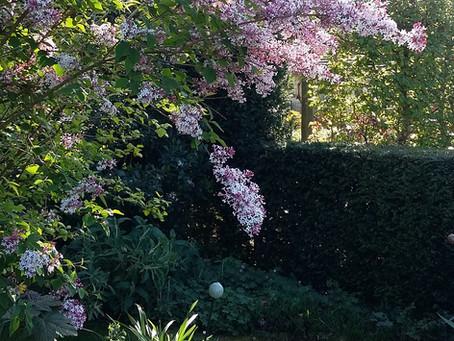 Syringa microphylla 'Superba' : un lilas pour les petits jardins