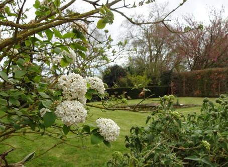La Viorne de Carles : Viburnum carlesii