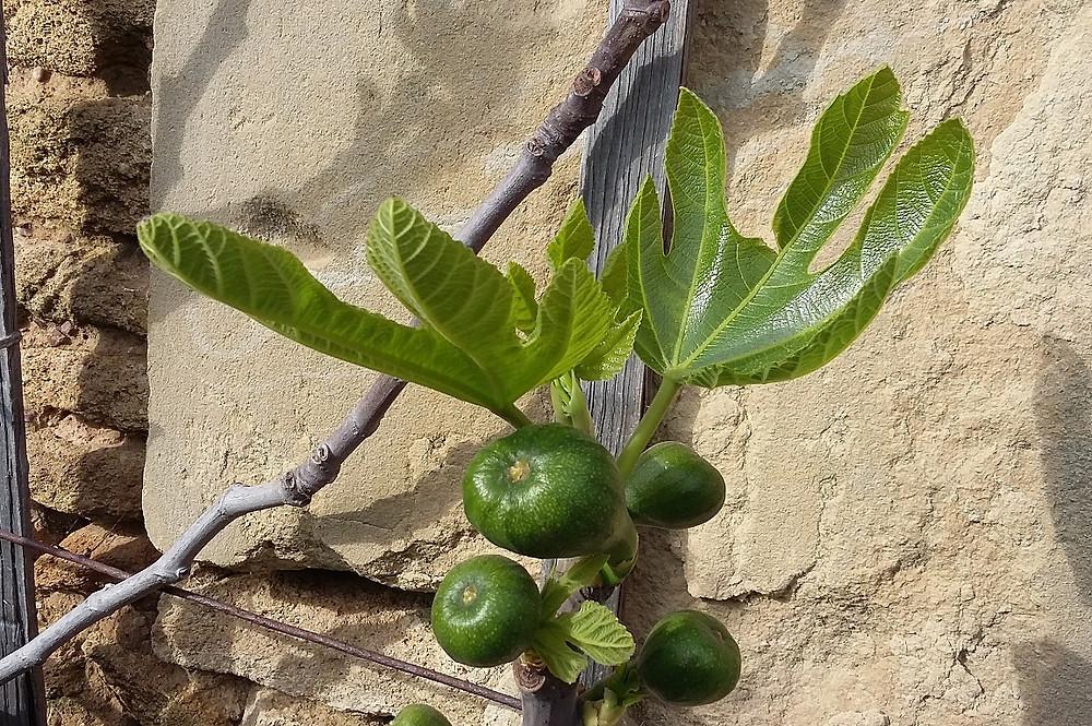 Malgré sa réputatuion de figuier résistant bien au froid, 'Madeleine des 2 saisons' a des fruits qui craignent les gelées
