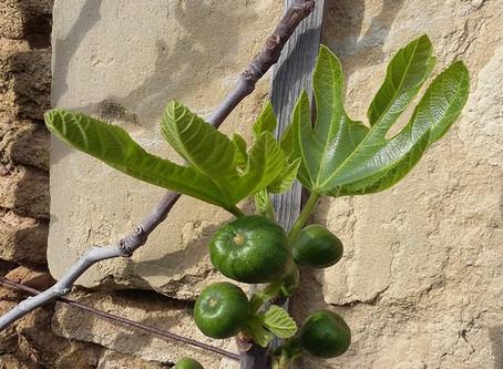 Figues 'Madeleine des deux saisons' : de délicieuses frileuses