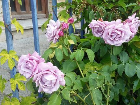Mon rosier 'Charles de Gaulle' est en grande forme