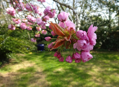 Le cerisier à fleurs du Japon : Prunus serrulata 'Kanzan'