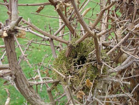 Ne taillez pas vos haies pendant la saison des nids !