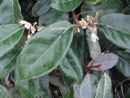 Elaeagnus x ebbingei : le parfum de l'automne