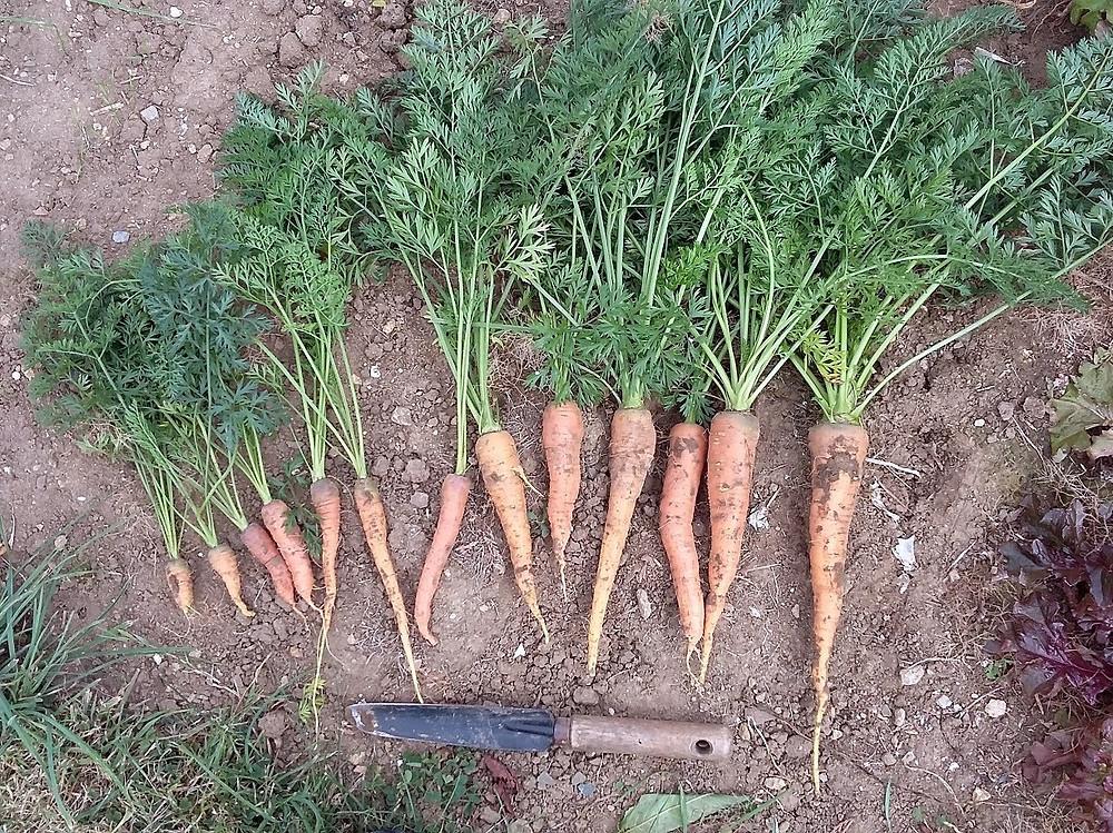 la plus grosse des carottes dépasse les 20 cm de long