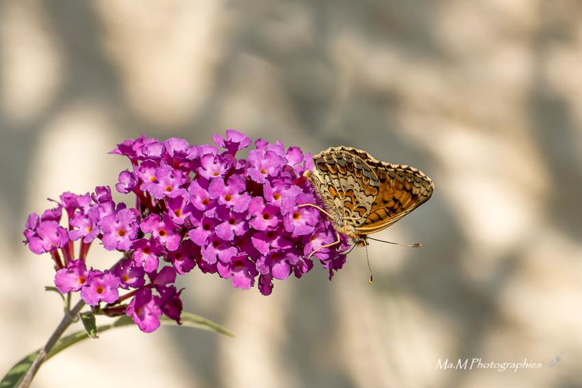 Papillon Mélitée Orangée