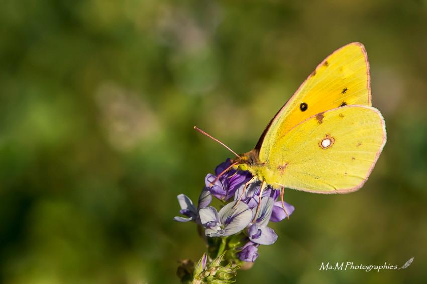 Papillon Soufré