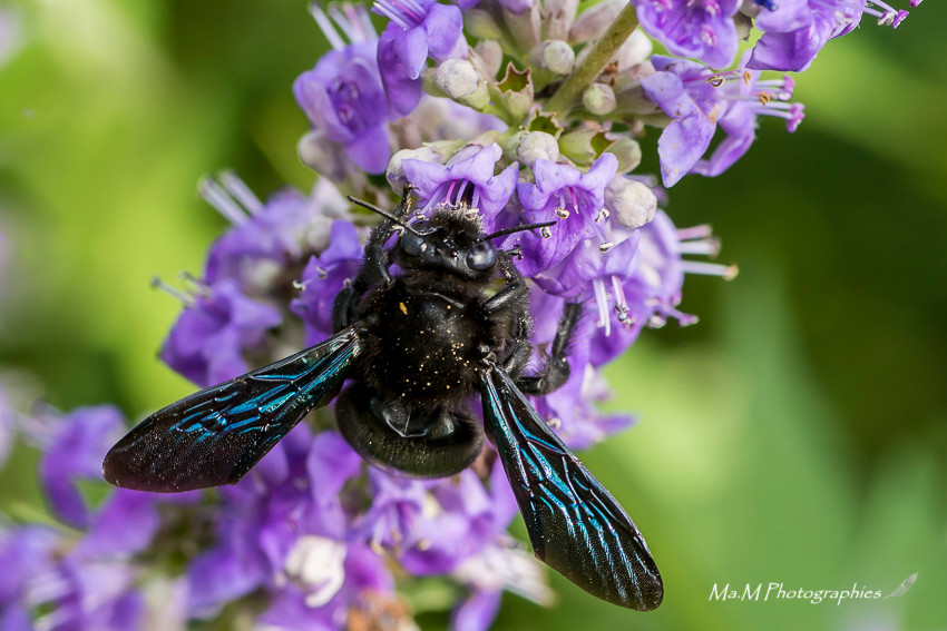 Xylocope Violet