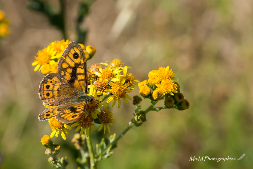 Papillon Petit Cuivré