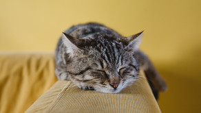 Frequent Vomiting in Cats Causes, Treatment, and Prevention