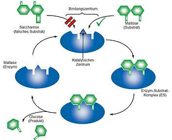 Enzym-Wirkungsweise.jpg