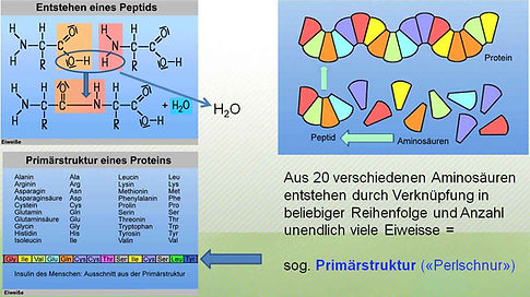 Proteinaufbau.jpg