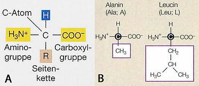 Aminosäuren_Typ.jpg