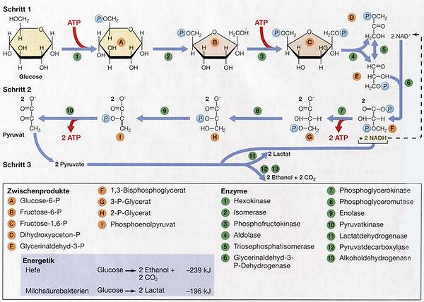 Glykolyse_enzymes.jpg