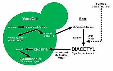 Diacetyl Bildung.jpg