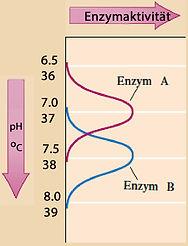 pH-Wert und Enzyme.jpg