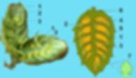 Hopfendolden Längsschnitt Lupulindrüsen