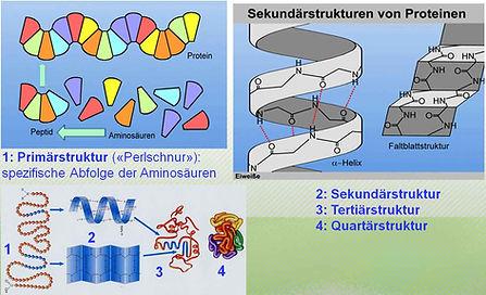 Proteinaufbau_Strukturen.jpg