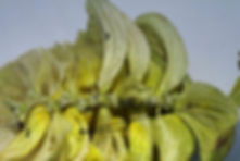 Hopfendolde Lupulindrüsen Spindel