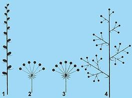 Botanik Blütenstände Ähre Dolden Rispe