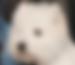 Westie Show Dog