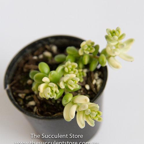 Sedum orizifolium Varigata
