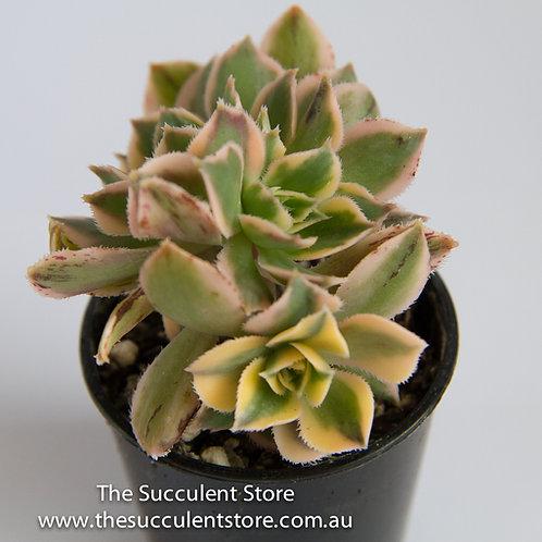 Aeonium Sunburst Crest