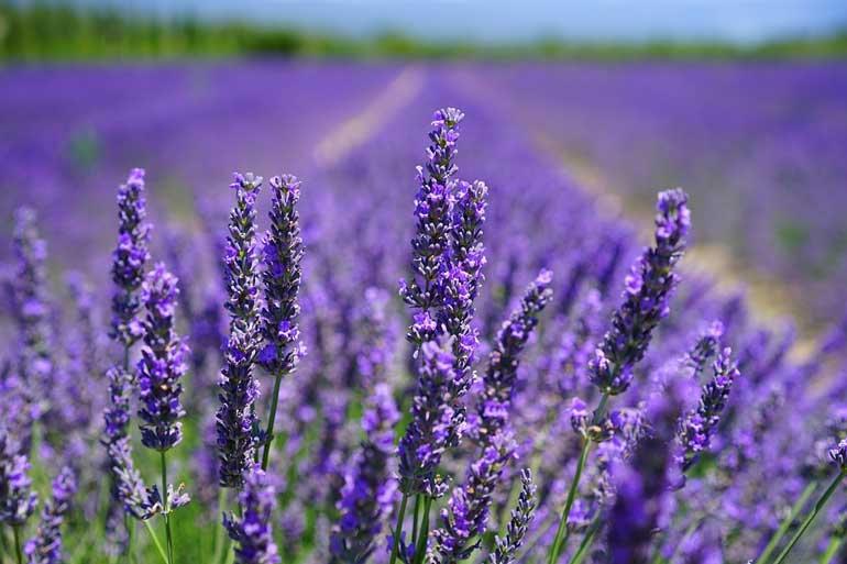 lavender photo 4.jpg