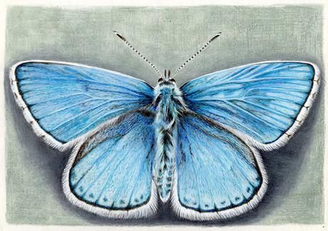 Бабочка голубянка, 30х21, бумага, каранд