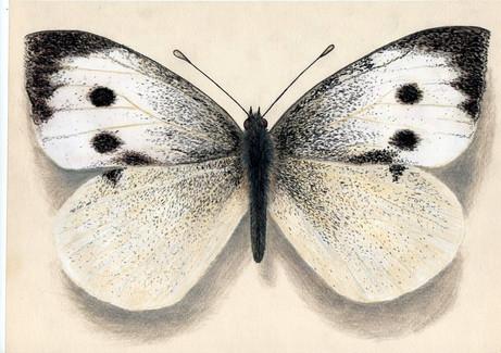 Бабочка репница, 30х21, бумага, карандаш