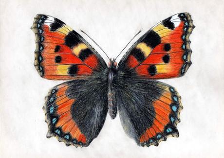 Бабочка крапивница, 30х21, бумага, каран