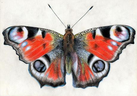 Бабочка павлиний глаз, 30х21, бумага, ка
