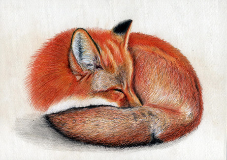 Спящий лис, 30х21, бумага, карандаш.jpg