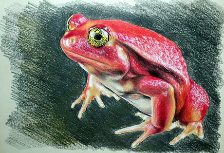Красная лягушка, 30х21, бумага, карандаш