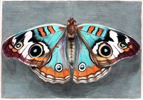 Бабочка берюзовая, 30х21, бумага, каранд