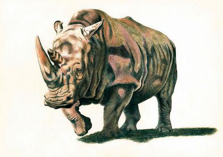 Носорог, 42х30, бумага, карандаш.jpg