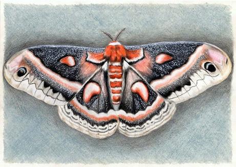 Бабочка ночная, 30х21, бумага, карандаш.