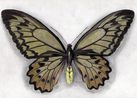 Бабочка Ornithoptera croesus, 30х21, бум