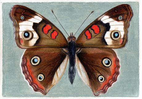Бабочка Junonia coenia, 30х21, бумага, к