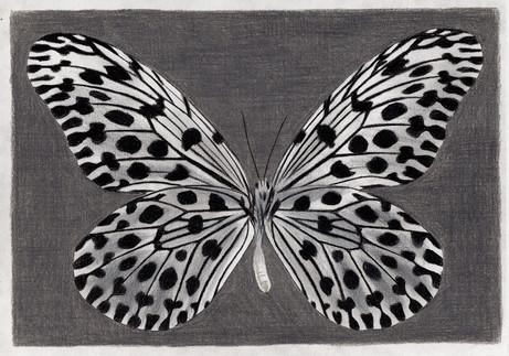 Бабочка пестрая, 30х21, бумага, карандаш