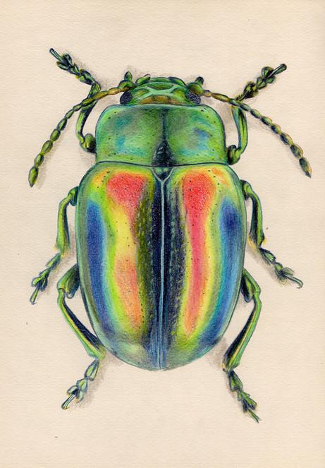 Цветной жук, 30х21, бумага, карандаш.jpg