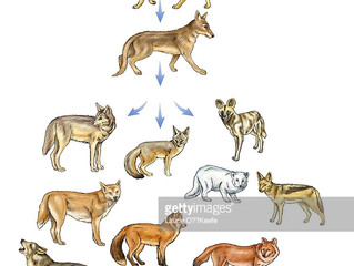The lineage of the domestic dog