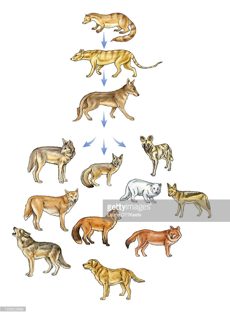 The evolution line from Miacis to the domestic dog.