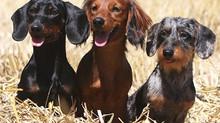 The Doggy Flu