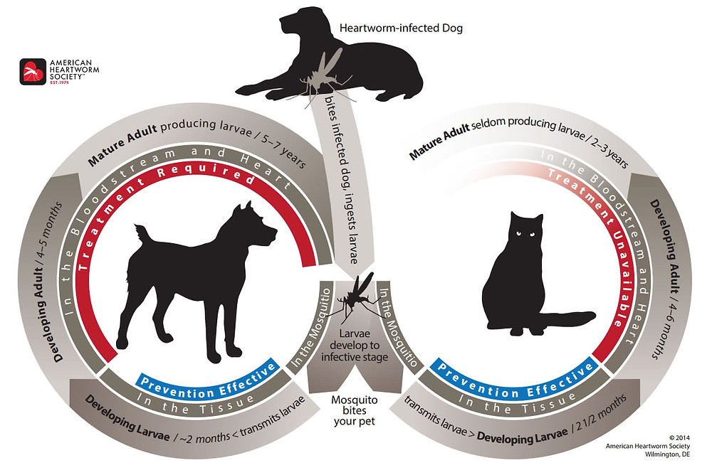 Heartworm Cycle Map From the American Heartworm Society