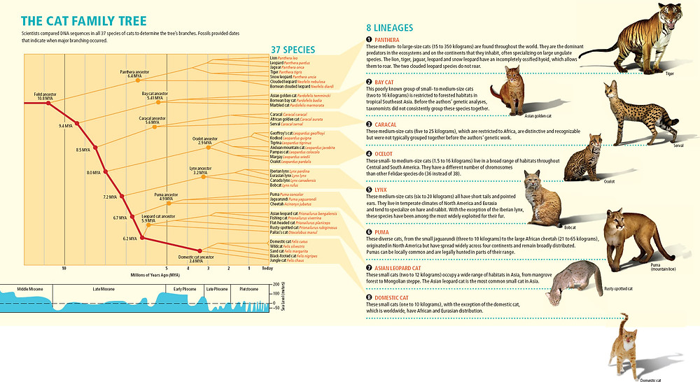 The cat family tree from Scientific American.