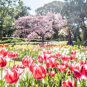 Sakura en BA
